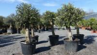 2 Stück Olivenbaum Set