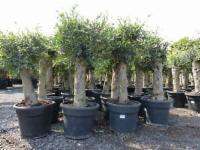 2x Olivenbaum Stamm Ø 30