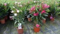 Oleander Busch Nerium