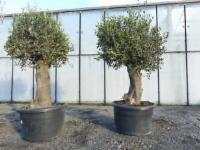 Olivenbaum Copa Baja