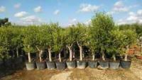 Olivenbaum Olive