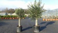 Olivenbaum Set 2 Stück 40