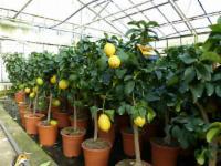 Zitrus Zitronenbaum 70 -
